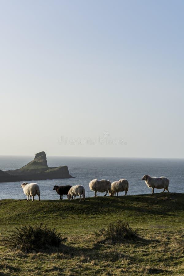 Πρόβατα Rhossili στοκ φωτογραφίες με δικαίωμα ελεύθερης χρήσης