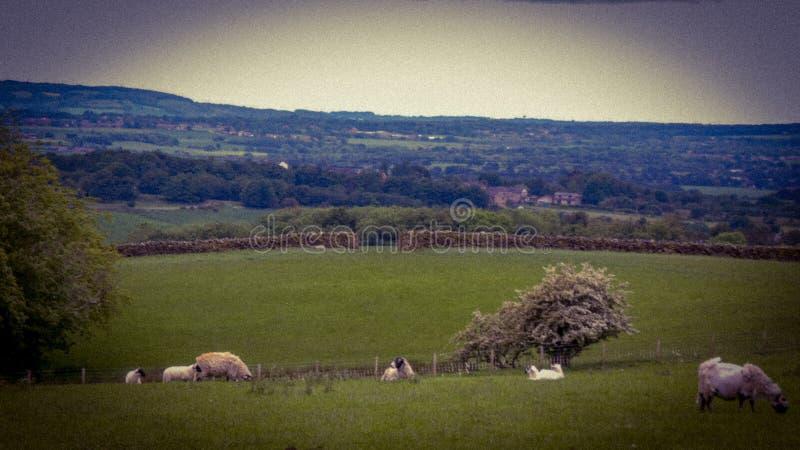 Πρόβατα Rivington στοκ εικόνες