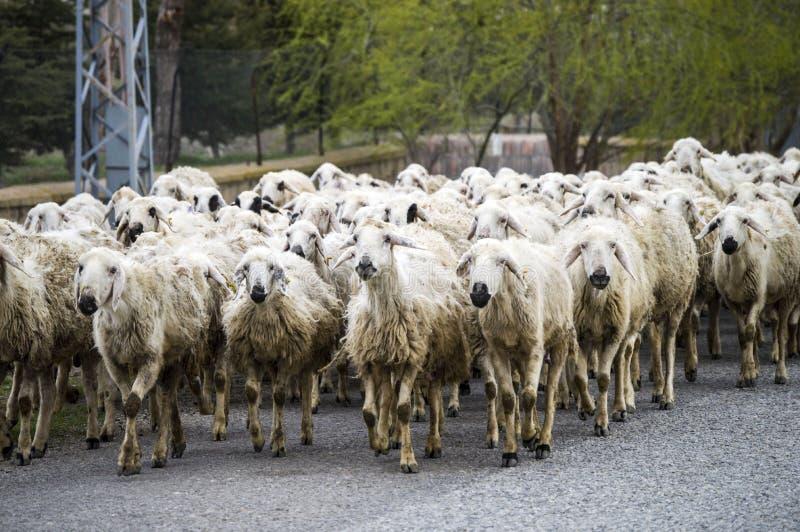 Πρόβατα ` s, δωδεκάδες των προβάτων που περνούν από, σπίτι επιστροφής προβάτων, βραχίονας προβάτων ` s στοκ φωτογραφία με δικαίωμα ελεύθερης χρήσης