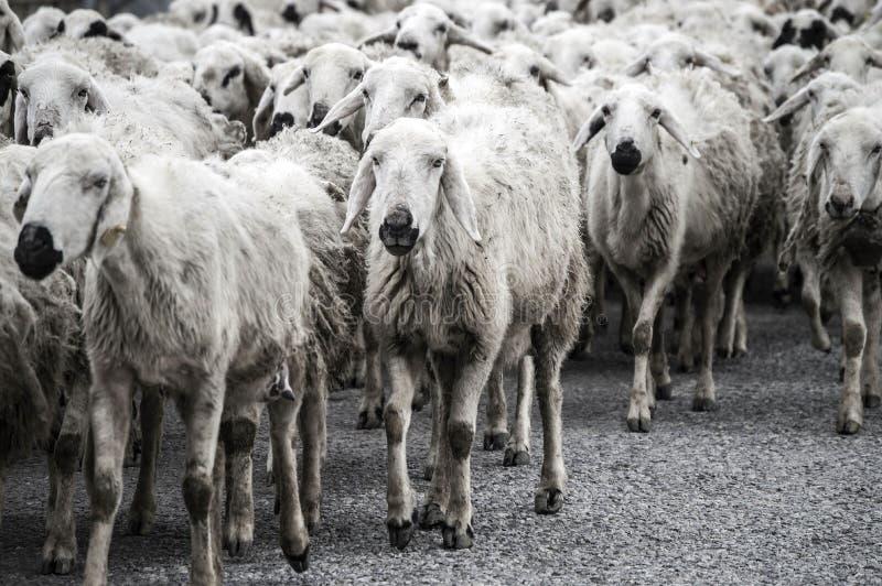 Πρόβατα ` s, δωδεκάδες των προβάτων που περνούν από, σπίτι επιστροφής προβάτων, βραχίονας προβάτων ` s στοκ φωτογραφία