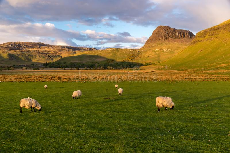 Πρόβατα Sunset rural Scotland Highlands Skye Island Talisker στοκ φωτογραφίες