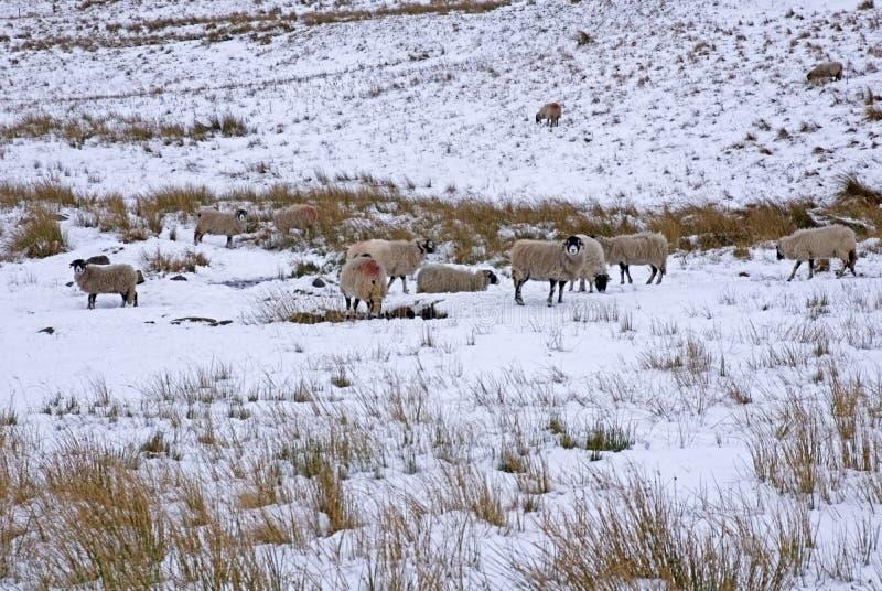 Πρόβατα Swaledale στοκ φωτογραφίες με δικαίωμα ελεύθερης χρήσης