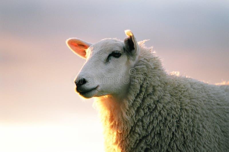 πρόβατα texil στοκ εικόνα