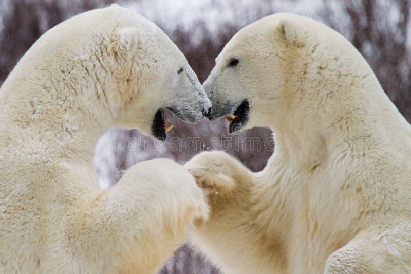 Πρόσκρουση πυγμών πολικών αρκουδών στοκ εικόνες με δικαίωμα ελεύθερης χρήσης