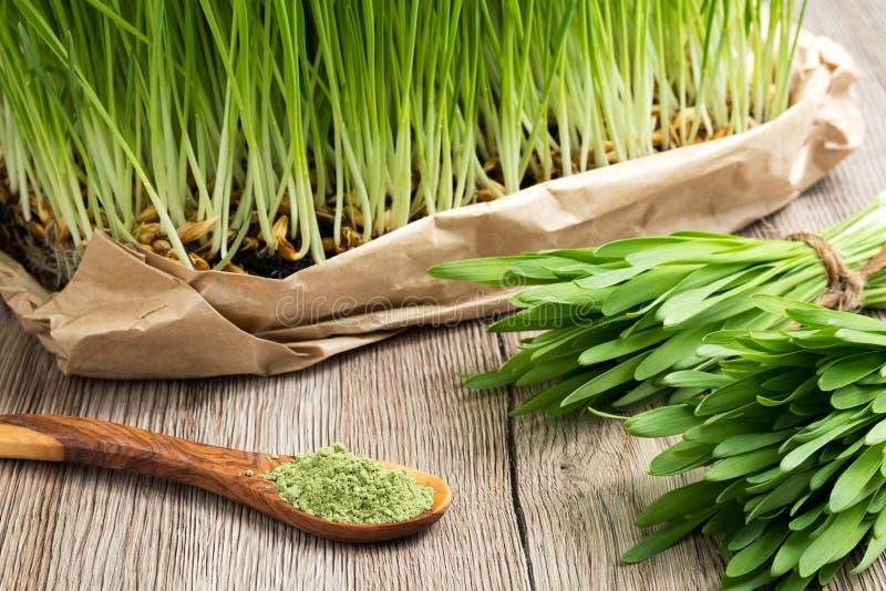 Πρόσφατα αυξημένη νέα χλόη κριθαριού με την πράσινη σκόνη χλόης κριθαριού στοκ φωτογραφία