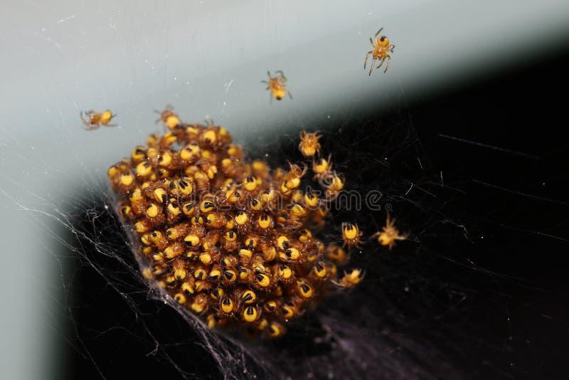 Πρόσφατα εκκολαμμένες μικρές διαγώνιες αράχνες σε έναν σωρό στοκ εικόνες