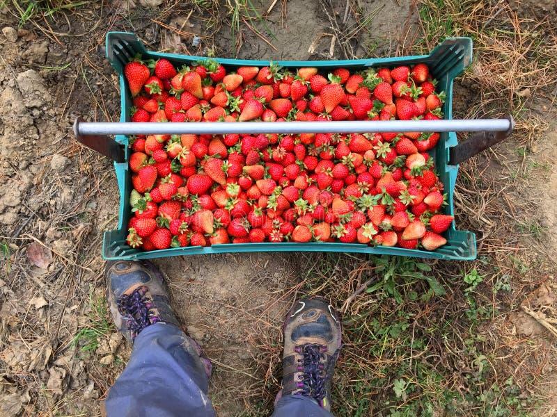 Πρόσφατα επιλεγμένες φράουλες με τη συλλεκτική μηχανή φρούτων στοκ φωτογραφία