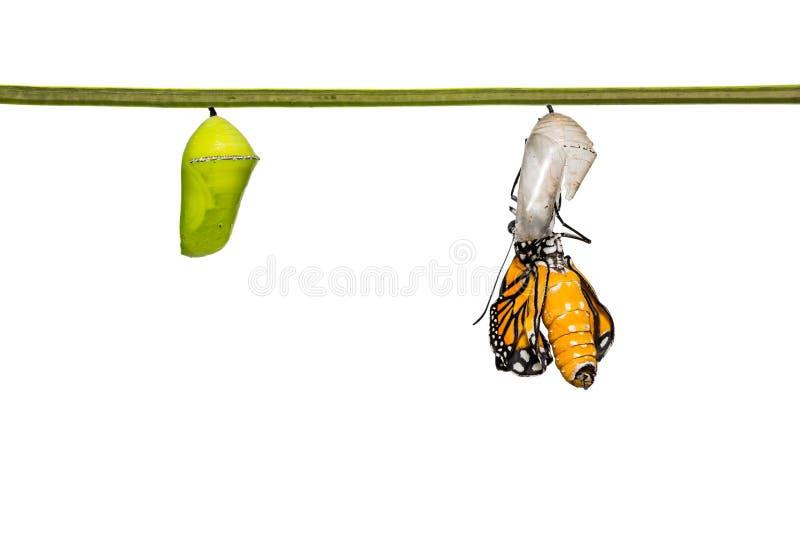Πρόσφατα κοινή πεταλούδα genutia Danaus τιγρών στοκ φωτογραφία με δικαίωμα ελεύθερης χρήσης