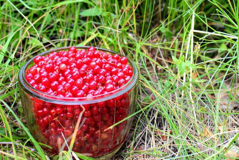 Πρόσφατα μαζευμένο redcurrant Rubrum Ribes μούρων σε ένα κύπελλο γυαλιού στοκ φωτογραφία με δικαίωμα ελεύθερης χρήσης