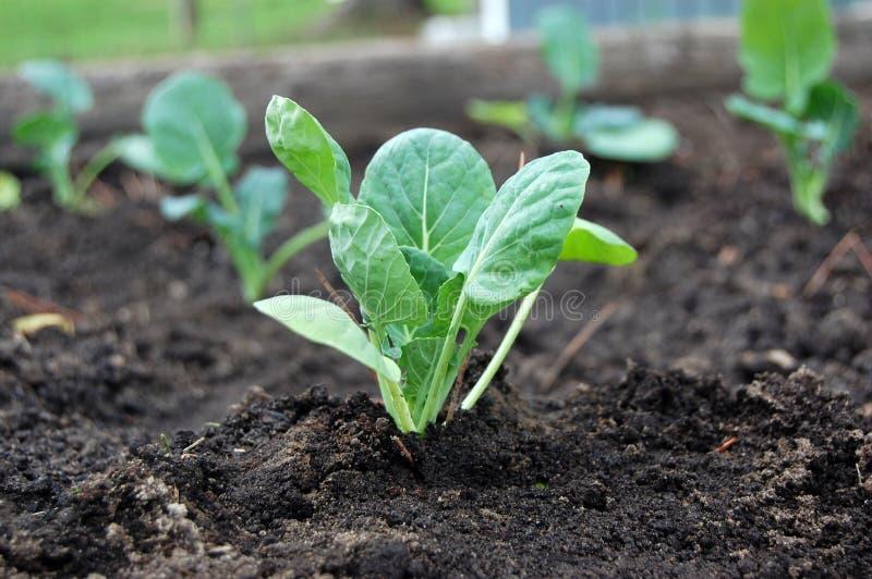 Πρόσφατα φυτευμένοι νέοι νεαροί βλαστοί των Βρυξελλών στο κρεβάτι κήπων στοκ φωτογραφία με δικαίωμα ελεύθερης χρήσης