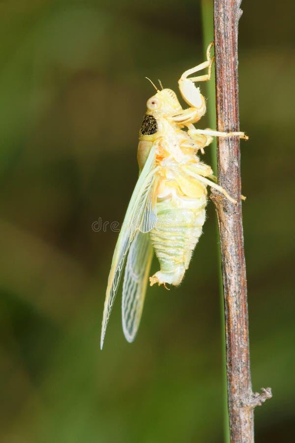 Πρόσφατα cicada στοκ φωτογραφία