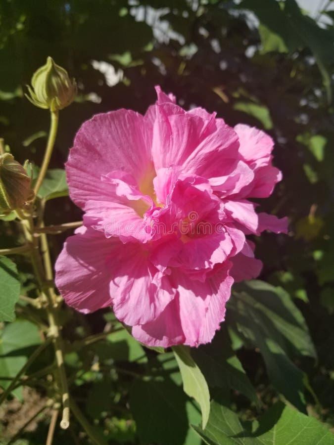 Πρόσφατο bloomer στοκ εικόνες
