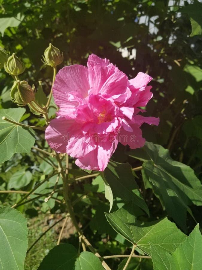 Πρόσφατο bloomer στοκ εικόνες με δικαίωμα ελεύθερης χρήσης