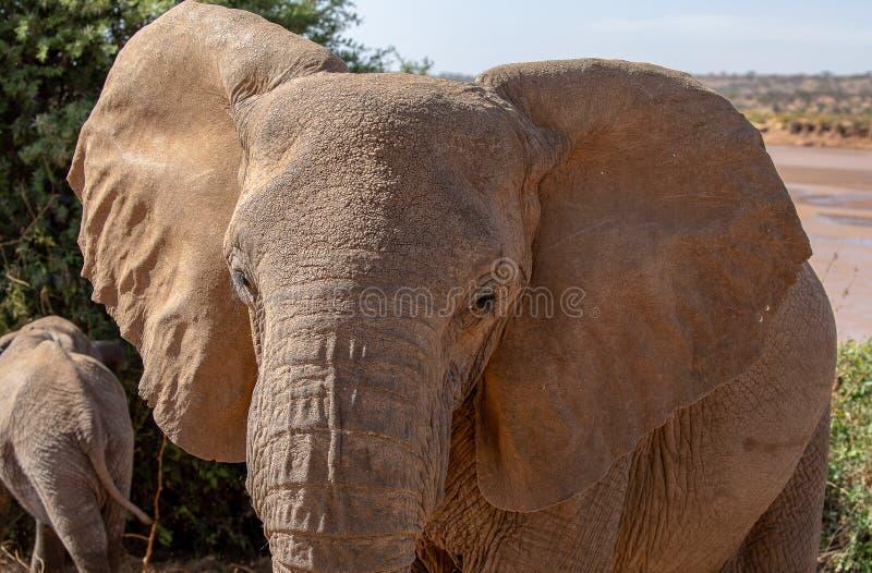 Πρόσωπο ελεφάντων στο σαφάρι στην Κένυα στοκ εικόνες