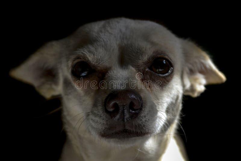 Πρόσωπο ενός άσπρου chihuahua στοκ φωτογραφίες με δικαίωμα ελεύθερης χρήσης
