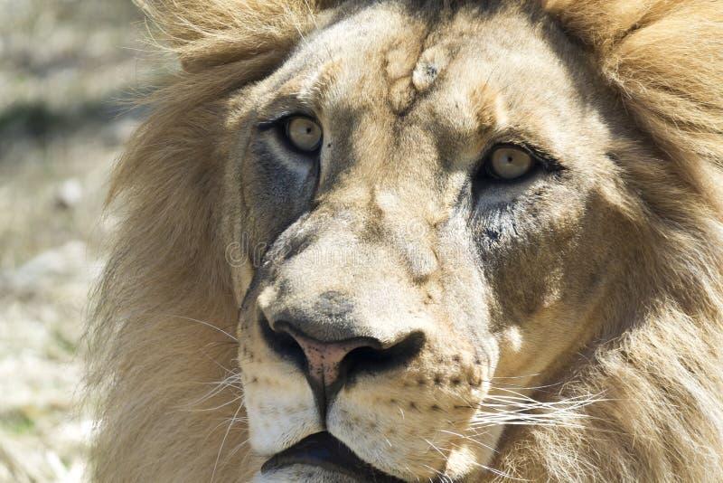 Πρόσωπο λιονταριών κινηματογραφήσεων σε πρώτο πλάνο στοκ φωτογραφίες με δικαίωμα ελεύθερης χρήσης