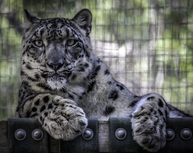 Πρόσωπο λεοπαρδάλεων χιονιού στοκ φωτογραφίες