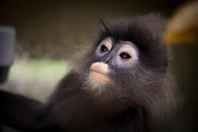 Πρόσωπο, μάτια Langur, στενός επάνω πιθήκων φύλλων στοκ εικόνες