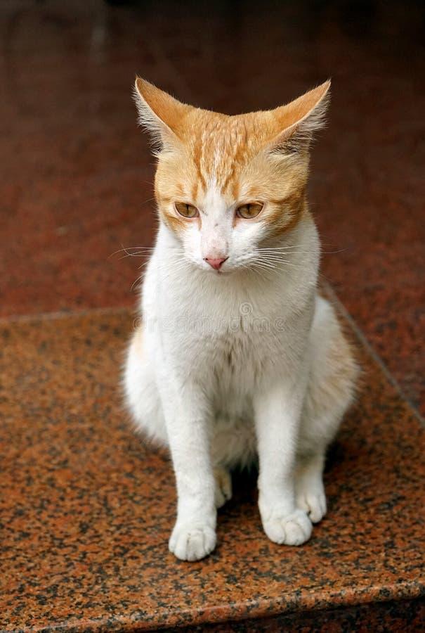 Πρόσωπο μιας γάτας στοκ εικόνα