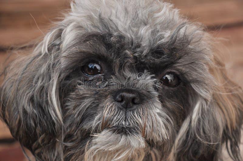 Πρόσωπο σκυλιών (shih tzu) στοκ εικόνες