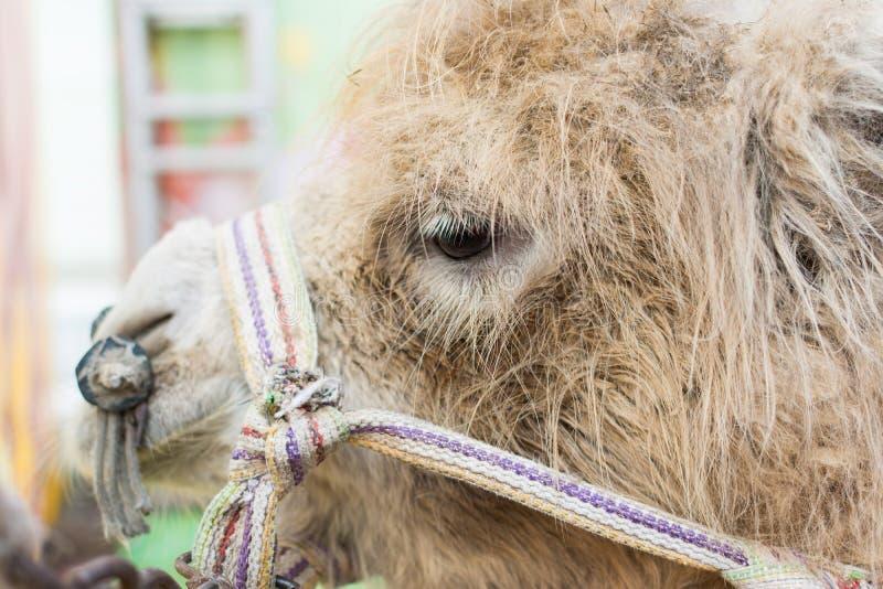 Πρόσωπο της καφετιάς καμήλας στοκ φωτογραφίες με δικαίωμα ελεύθερης χρήσης
