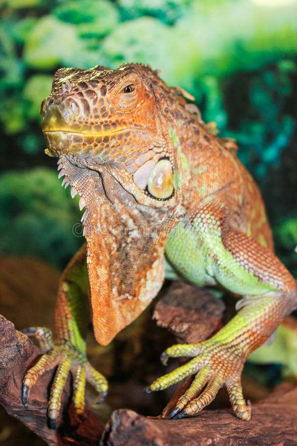 Πρόσωπο Iguana στοκ φωτογραφία με δικαίωμα ελεύθερης χρήσης