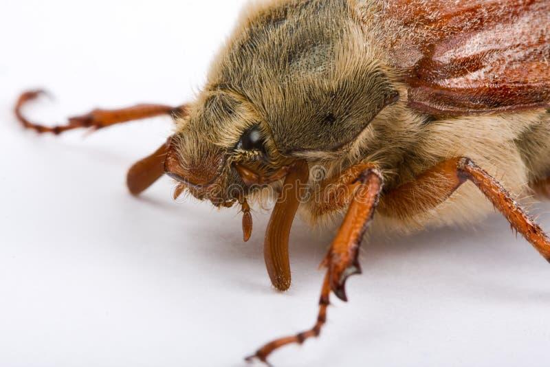 πρόσωπο maybug στοκ φωτογραφία με δικαίωμα ελεύθερης χρήσης