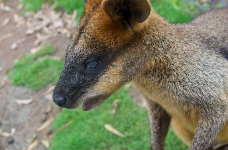 Πρόσωπο Wallaby στοκ εικόνα
