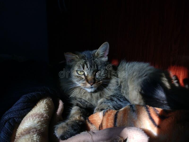 Πρότυπη γάτα στοκ εικόνες με δικαίωμα ελεύθερης χρήσης