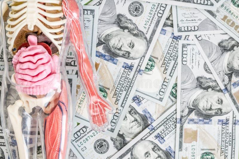 Πρότυπο ανθρώπινου σώματος με το σκελετό και εσωτερικά όργανα πέρα από το υπόβαθρο χρημάτων αμερικανικών δολαρίων Έννοια μεταμόσχ στοκ εικόνες