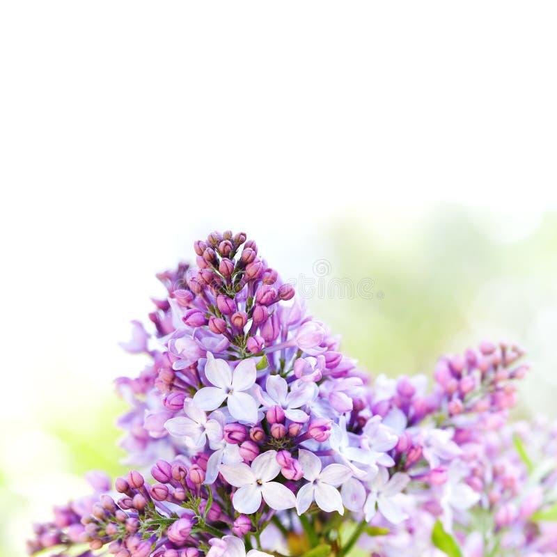 Πρότυπο αφισών φύσης άνοιξη Ανθίζοντας θάμνος πασχαλιών Syringa vulgaris Όμορφο floral υπόβαθρο άνοιξης με στοκ εικόνες με δικαίωμα ελεύθερης χρήσης
