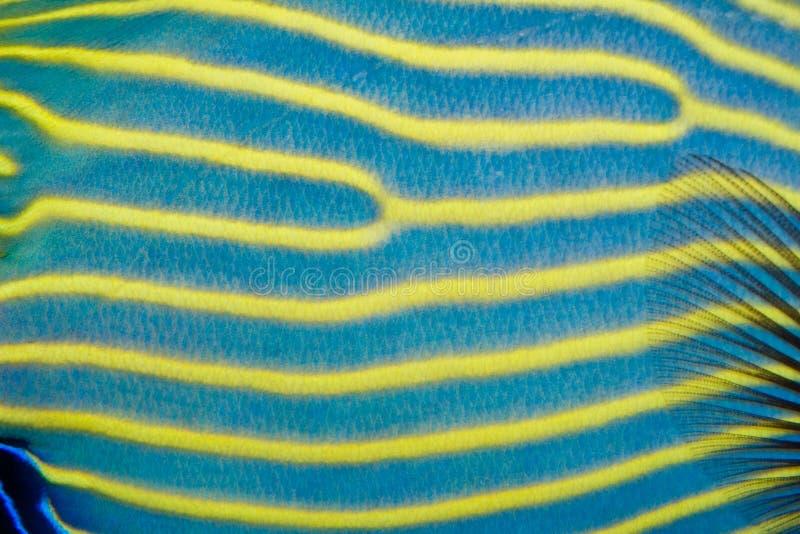 Πρότυπο δερμάτων Angelfish αυτοκρατόρων στοκ εικόνα με δικαίωμα ελεύθερης χρήσης