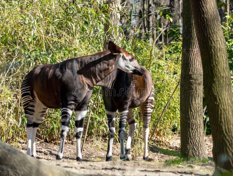 Πρόχειρο φαγητό Okapi στο ζωολογικό κήπο Bronx στοκ φωτογραφία