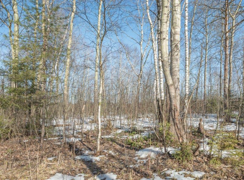 Πρώιμο ελατήριο στο δάσος στοκ εικόνα με δικαίωμα ελεύθερης χρήσης