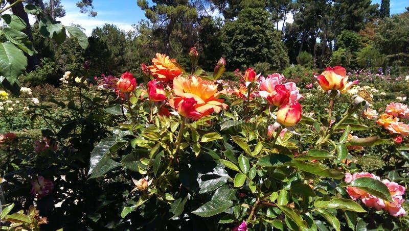 Πρώτα τριαντάφυλλα της άνοιξης στοκ φωτογραφία με δικαίωμα ελεύθερης χρήσης