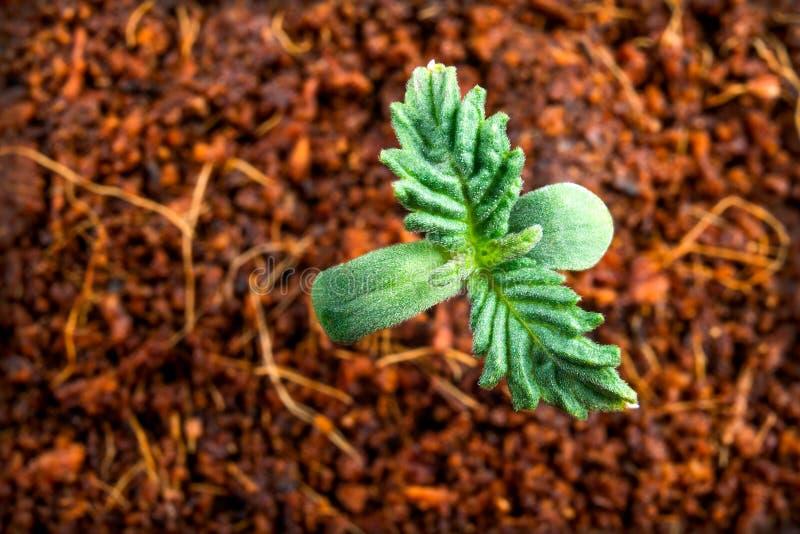 Πρώτα φύλλα που αυξάνονται τη νέα ιατρική μαριχουάνα σε ένα δοχείο στοκ εικόνα με δικαίωμα ελεύθερης χρήσης