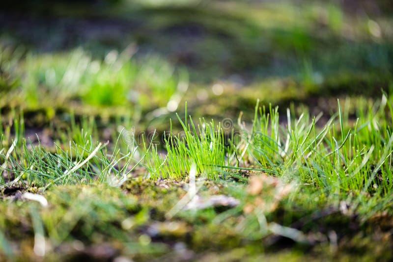 πρώτη πράσινη ανάπτυξη χλόης από το γυμνό χώμα άνοιξη στοκ εικόνα με δικαίωμα ελεύθερης χρήσης