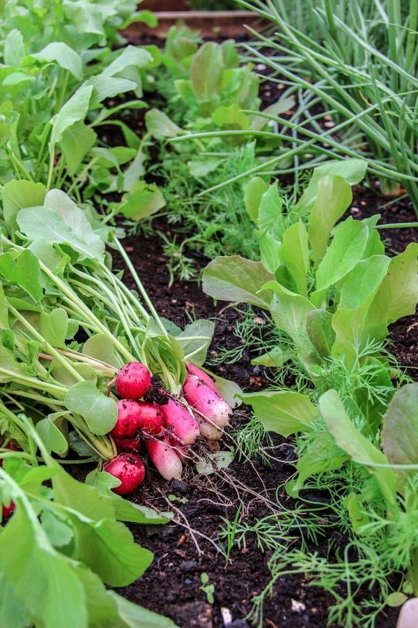 Πρώτη συγκομιδή των ραδικιών στον αυξημένο κήπο κρεβατιών στοκ εικόνες