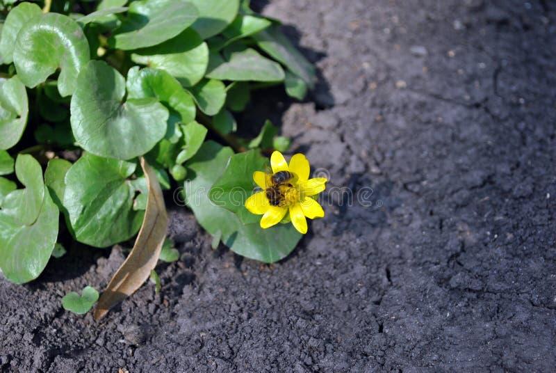 Πρώτο λουλούδι άνοιξη της κίτρινης νεραγκούλας Caltha με τη μικρή μέλισσα μελιού που επικονιάζει την, πράσινα λαμπρά φύλλα στο υπ στοκ εικόνες