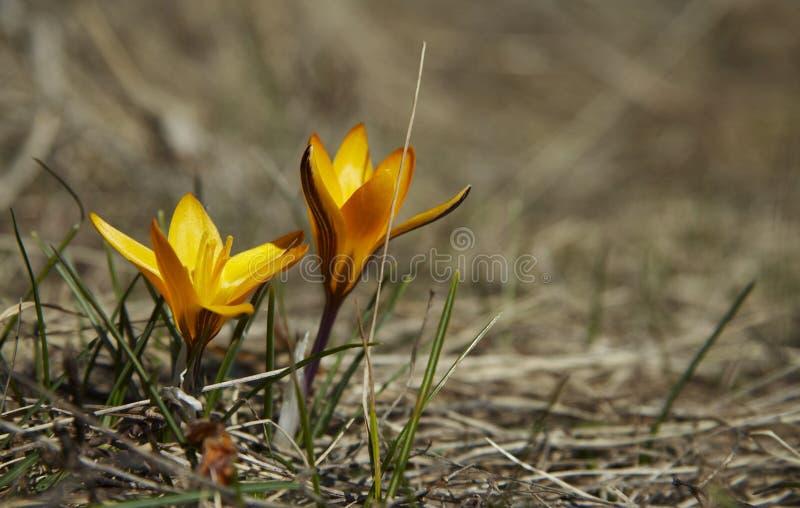 πρώτο λουλούδι στοκ εικόνα με δικαίωμα ελεύθερης χρήσης