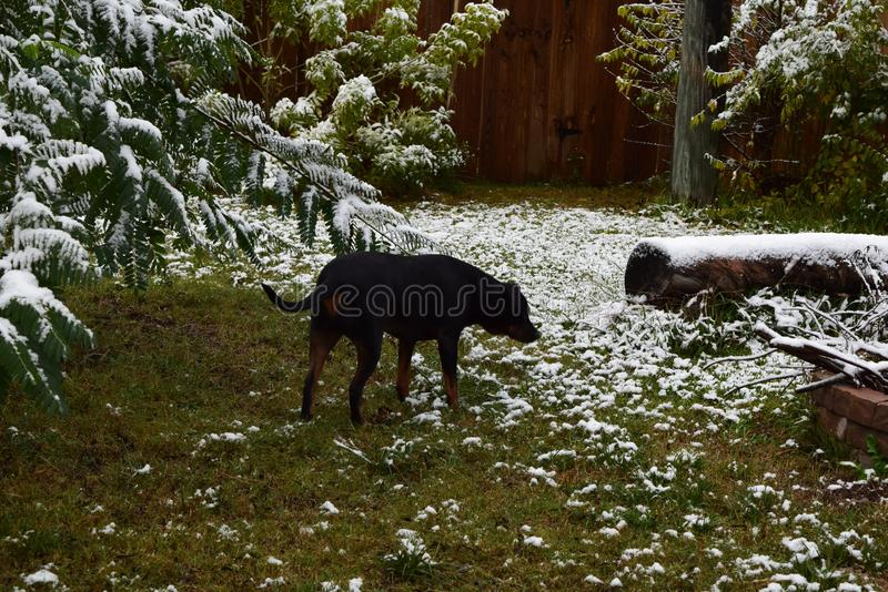 πρώτο χιόνι σκυλιών στοκ εικόνα με δικαίωμα ελεύθερης χρήσης