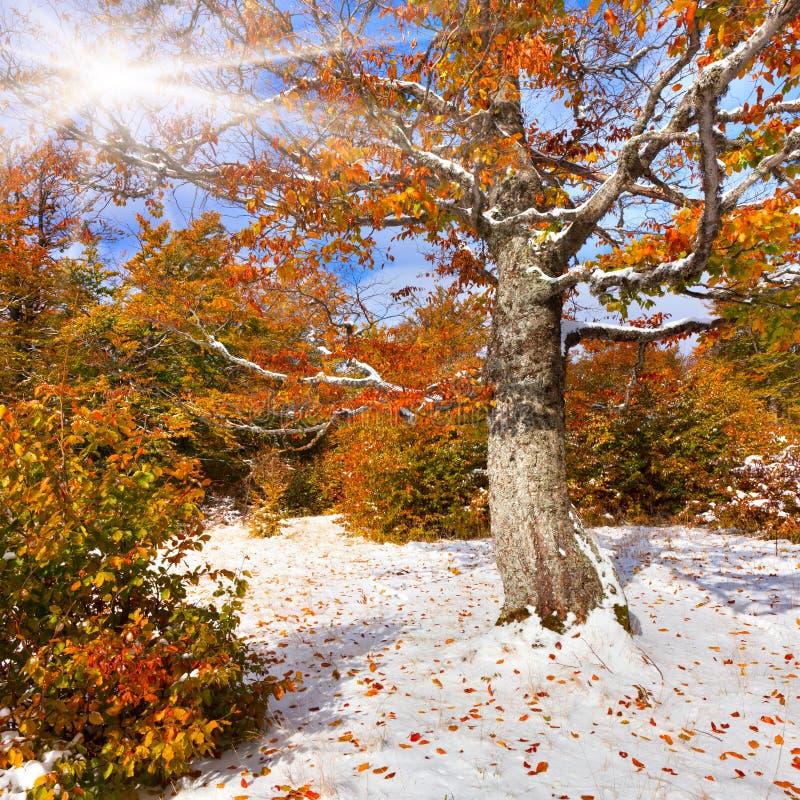 Πρώτο χιόνι στο δάσος στοκ εικόνα με δικαίωμα ελεύθερης χρήσης