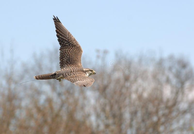 Download πτήση πουλιών στοκ εικόνες. εικόνα από δάση, αερόσακων - 2227176