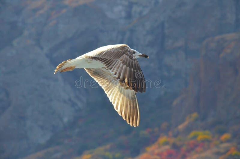 Πτήση seagulls πέρα από τη Μαύρη Θάλασσα, κατά μήκος της δύσκολης ακτής στοκ εικόνες