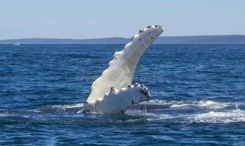 Πτερύγιο φαλαινών Humpback στοκ εικόνες με δικαίωμα ελεύθερης χρήσης