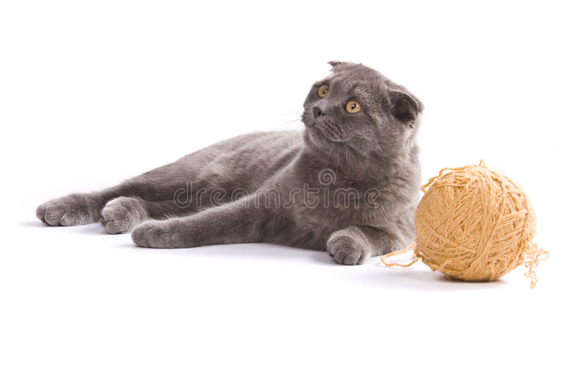 πτυχές σκωτσέζικα γατών στοκ φωτογραφία με δικαίωμα ελεύθερης χρήσης