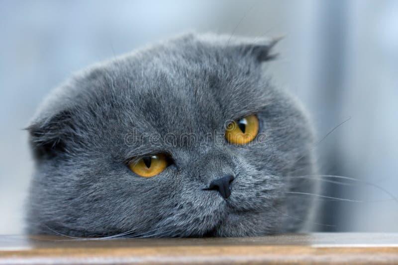 πτυχές σκωτσέζικα γατών στοκ εικόνες με δικαίωμα ελεύθερης χρήσης