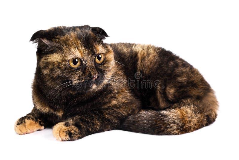 πτυχές σκωτσέζικα γατών στοκ φωτογραφίες