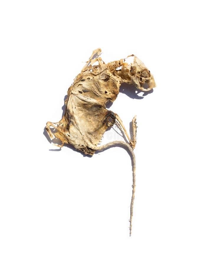 Πτώμα αρουραίου αποξηραμένη μούστα απομονωμένο φόντο στοκ εικόνες