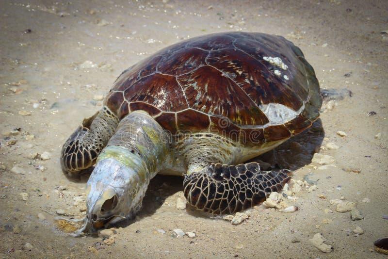 Πτώμα μιας χελώνας θάλασσας με ένα κρανίο, βατραχοπέδιλα και ένα όμορφο κοχύλι στοκ εικόνες
